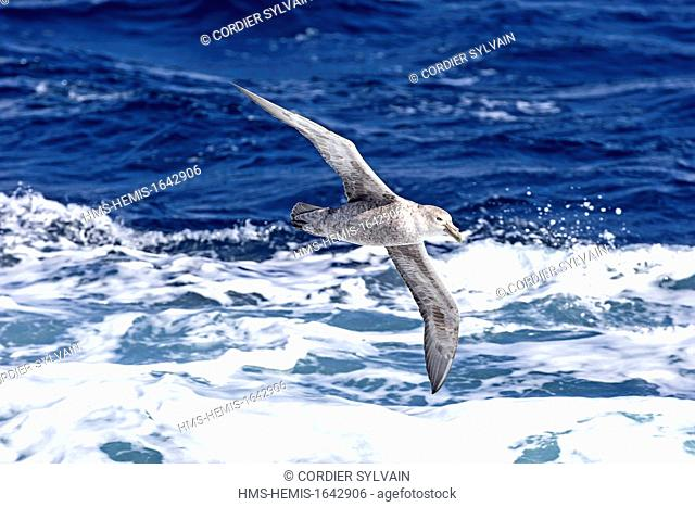 Antarctic, Ocean between Falklands Islands and South Georgia, South Georgia, Southern Giant Petrel (Macronectes giganteus), Subantarctic species