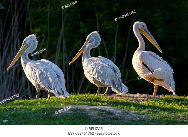 Great white pelican (Pelecanus onocrotalus) and Dalmatian pelicans (Pelecanis crispus)