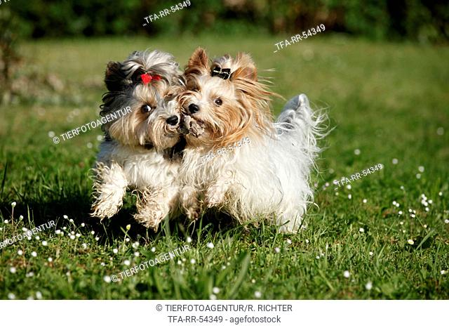 Biewer Yorkshire Terrier