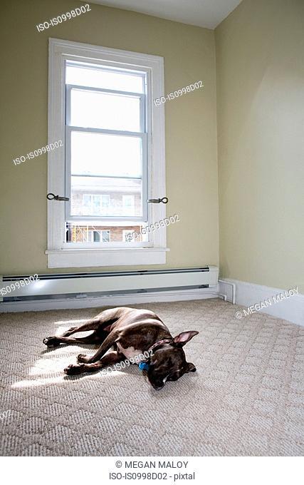 Female pit bull sleeping in sunlit room