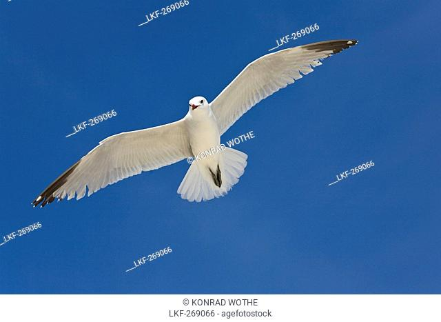 Audouin's Gull flying in front of blue sky, Mallorca, Spain, Europe