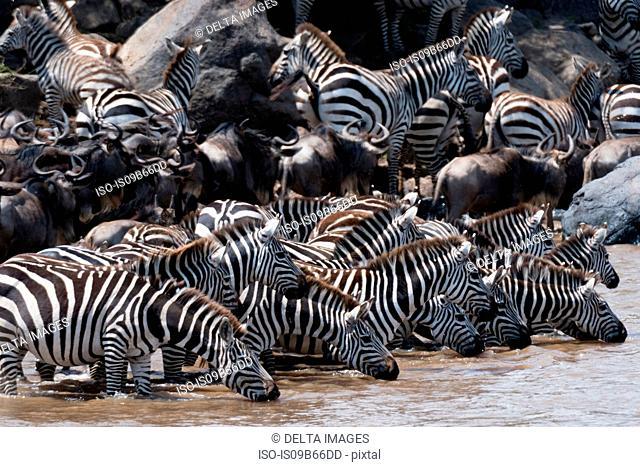 Grant's zebras (Equus quagga boehmi) and Eastern white-bearded wildebeest (Connochaetes taurinus), drinking at the Mara river, Masai Mara National Reserve
