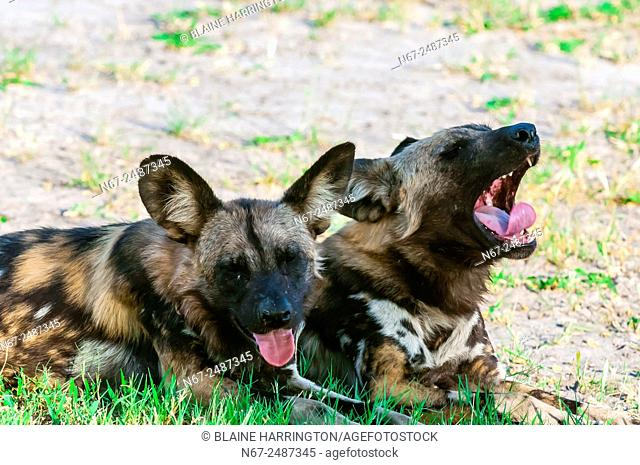 African wild dogs, near Kwando Concession, Linyanti Marshes, Botswana. African wild dogs are extremely endangered. Only about 6, 000 are left