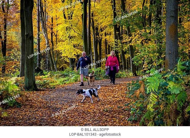 England, Leicestershire, Woodhouse Eaves. A couple walking dogs on a path through beech woodland in autumn