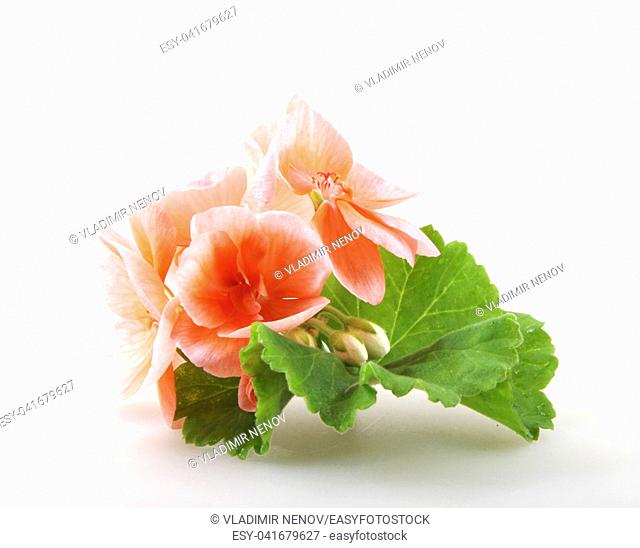 Geranium Pelargonium Flowers Isolated On White