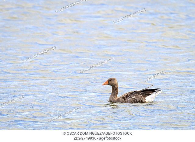 Greylag Goose (Anser anser) adult swimming on water. Snettisham RSPB Reserve. Norfolk. England. UK