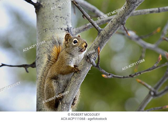 A wild red squirrel, Tamiasciurus hudsonicus; looking down from his lofty perch on a branch in a poplar tree in rural Alberta Canada