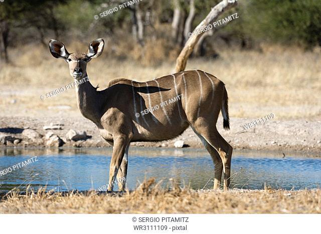 Greater kudu (Tragelaphus strepsiceros), Kalahari, Botswana, Africa