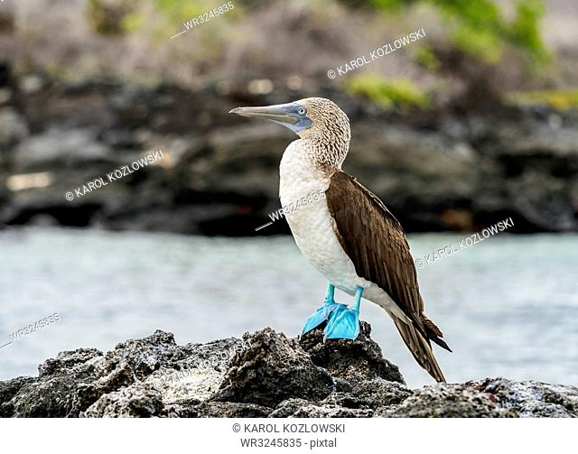 Blue-footed booby (Sula nebouxii) on the rocky coast by the Bachas Beach, Santa Cruz (Indefatigable) Island, Galapagos, UNESCO World Heritage Site, Ecuador