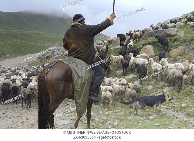 Shepherd guiding his flock of sheep in rain at Tosor Pass, Naryn region, Kyrgyzstan, Central Asia