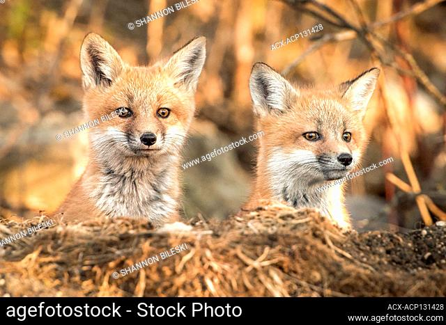 Curious Baby foxes in Winnipeg, Manitoba, Canada
