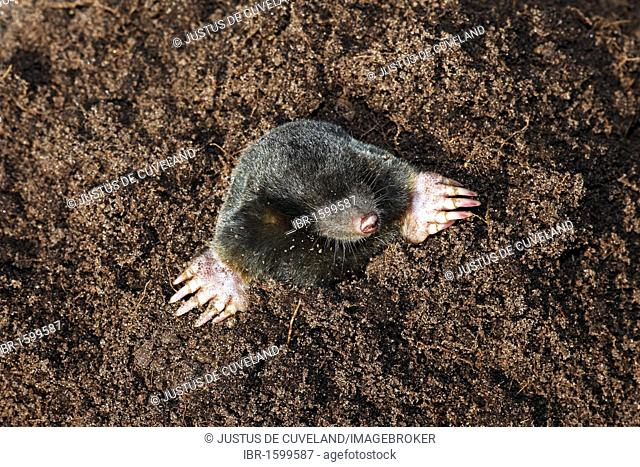 European Mole, Common Mole or Northern Mole (Talpa europaea) in a molehill with freshly dug earth