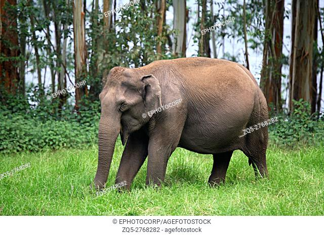 Wild Elephant (Elephas maximus) Female at Eravikulam National Park, Munnar, Kerala, India