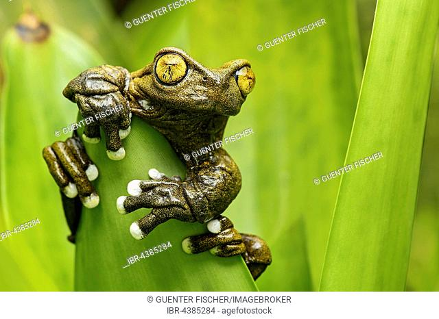 Hyloscirtus tapichalaca (Hyloscirtus tapichalaca), neotropical tree frog clinging to leaf, Tapichalaca Reserve, Andean cloud forest, Ecuador