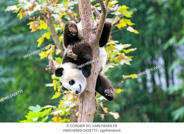 China, Sichuan province, Chengdu, Research Base of Giant Panda Breeding or Chengdu Panda Base, Giant Panda (Ailuropoda melanoleuca), captive, in a tree