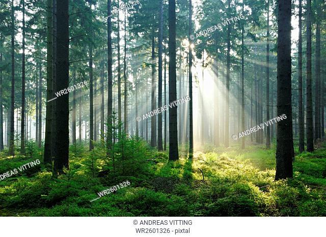 Sun rays breaking through the morning fog in spruce forest, Huertgenwald, North Eifel Nature Park, High Fens-Eifel, North Rhine-Westphalia, Germany