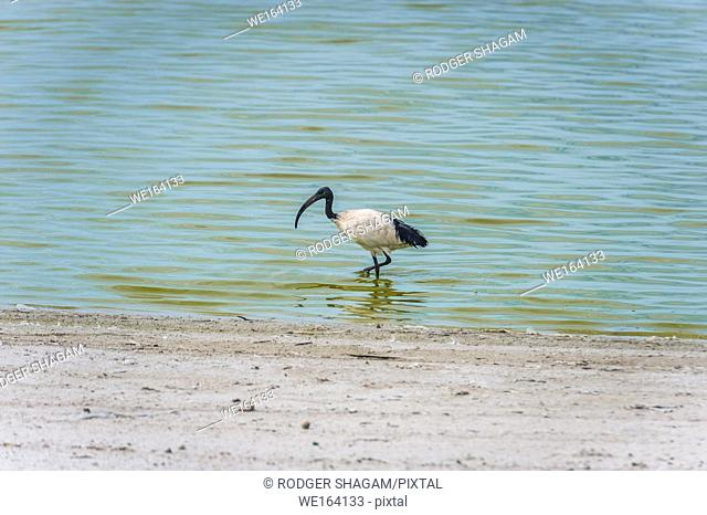 Cape Town, South Africa. African Sacred Ibis. An adult individual is 68 cm long with all-white body plumage apart from dark plumes on the rump