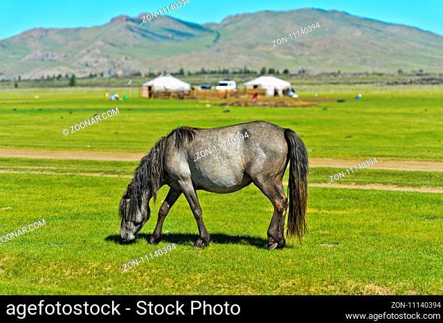 Pferd weidet auf Grasland bei einer Jurtensiedlung in der UNESCO Welterbe-Kulturlandschaft Orchon-Tal, Khangai Nuruu Nationalpark, Övörkhangai Aimag