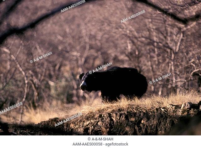 Sloth-Bear-(Melursus-ursinus)-Rantambor, -India