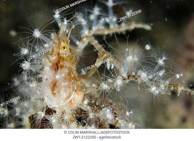 Decorator Crab (Hyastenus sp.) with anemones at Critters@Baengabang dive site in Pantar near Alor in eastern Indonesia