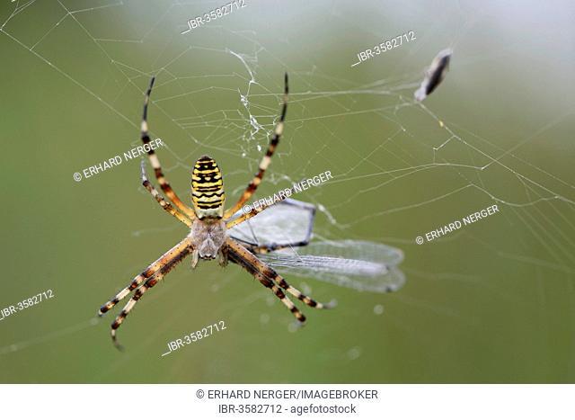 Wasp Spider (Argiope bruennichi), Emsland, Lower Saxony, Germany
