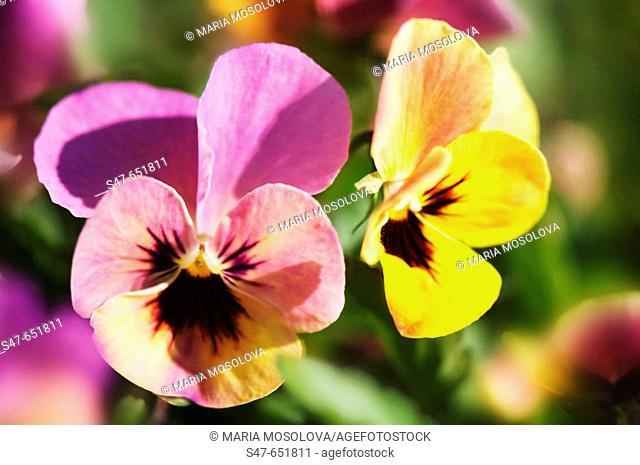Two Pansies. Viola x wittrockiana. April 2007, Maryland, USA