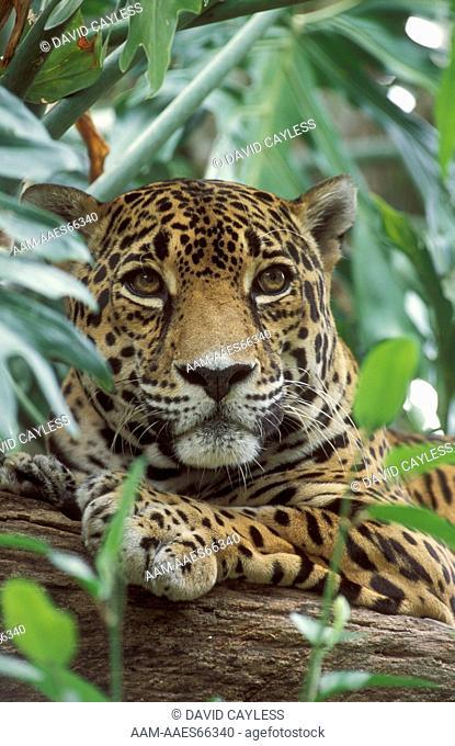 Jaguar (Panthera onca), IC, Banana Bank Lodge, Cayo, Belize