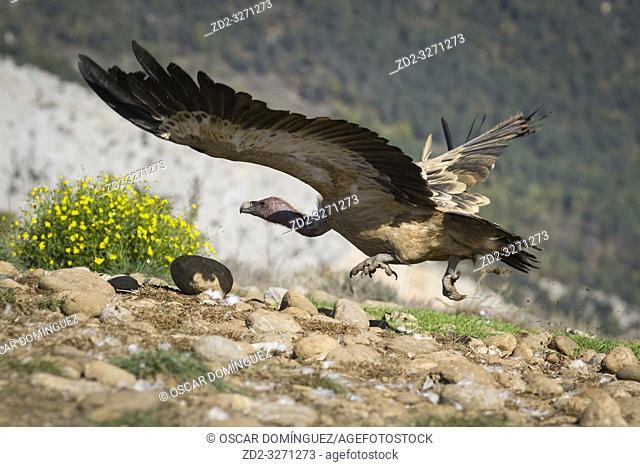 Griffon Vulture (Gyps fulvus) running to take off into flight. Lleida province. Catalonia. Spain