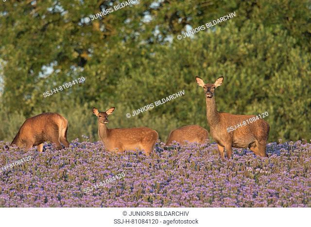 Red Deer (Cervus elaphus). Hinds and calves in flowering Phacelia. Scania, Sweden