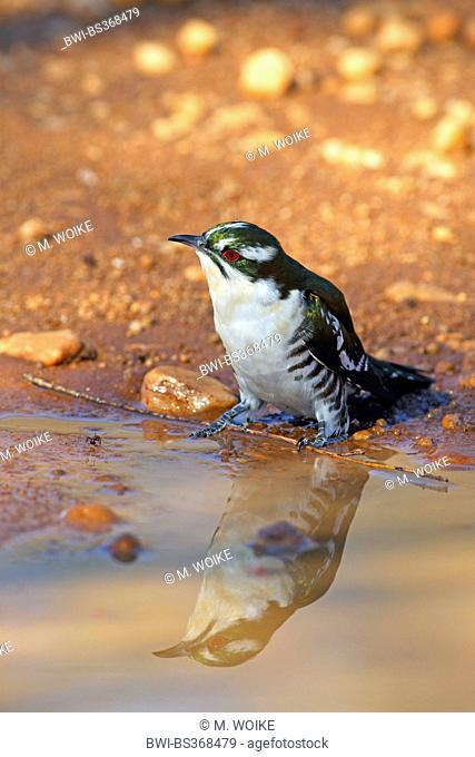 Didric cuckoo (Chrysococcyx caprius), sitting at a waterhole, South Africa, North West Province, Pilanesberg National Park