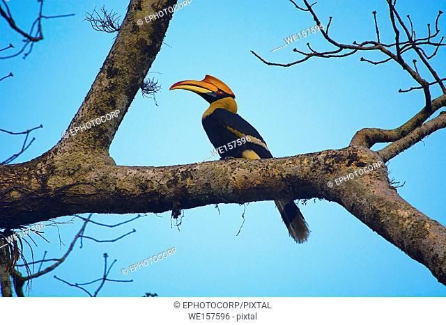 The great hornbill, Buceros bicornis, Kaziranga National Park, Assam, India