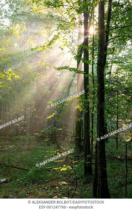 Summer sunrise in Bialowieza Forest and sunbeam entering