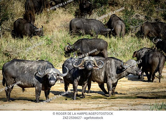 African buffalo, also know as Cape Buffalo (Syncerus caffer) in Mbyamiti River. Southern Kruger National Park. Mpumalanga. South Africa