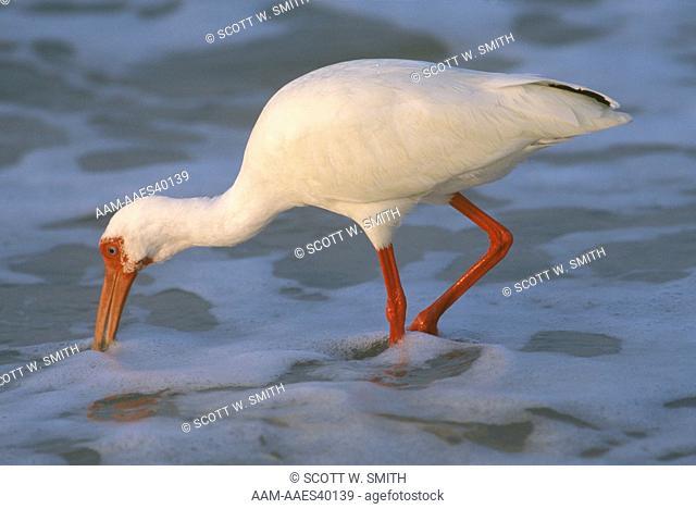 White Ibis foraging Bowman's Beach Sanibel Island - Florida
