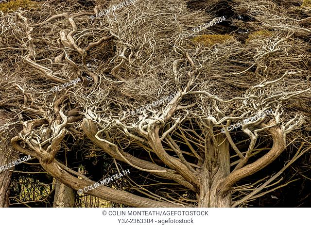 Branches twisted by prevailing SW wind, Tuatapere, Southland, New Zealand