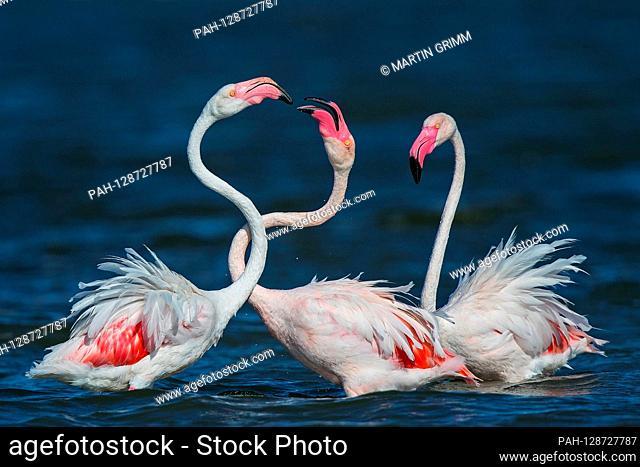 Greater Flamingo (Phoenicopterus roseus) foraging in shallow water, Sardinia, Italy | usage worldwide. - /Sardinien/Italy