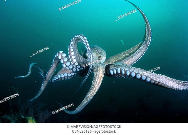 Octopus (Octopus vulgaris). Galicia, Spain