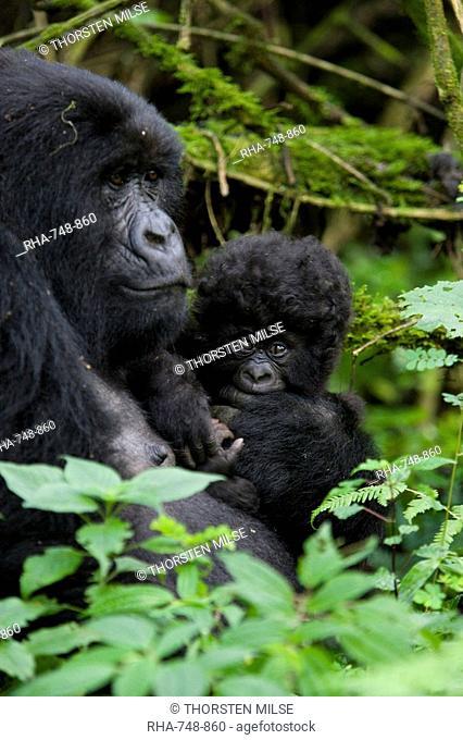 Mountain gorilla Gorilla gorilla beringei with her baby, Kongo, Rwanda, Africa