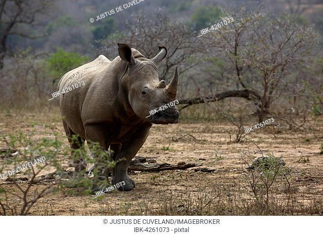 White Rhinoceros (Ceratotherium simum), Hluhluwe-Imfolozi National Park, Province of KwaZulu-Natal, South Africa