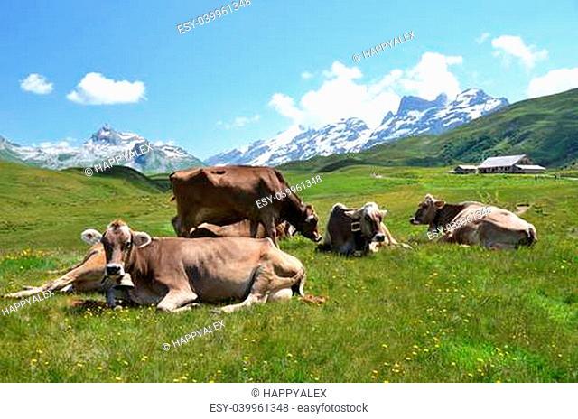 Cows in an Alpine meadow. Melchsee-Frutt, Switzerland