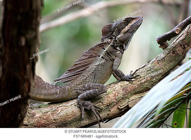 Jesus Christ Lizard in Manuel Antonio National Park, Puntarenas, Costa Rica