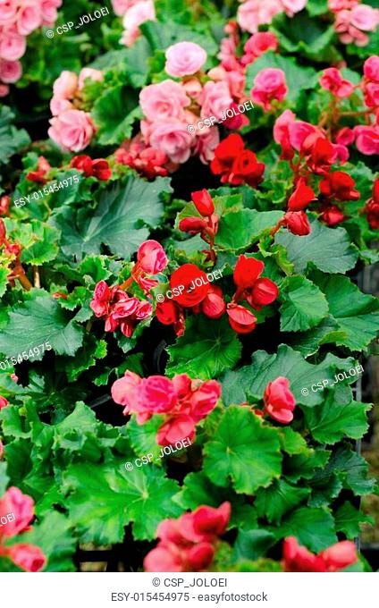 begonia flower in garden