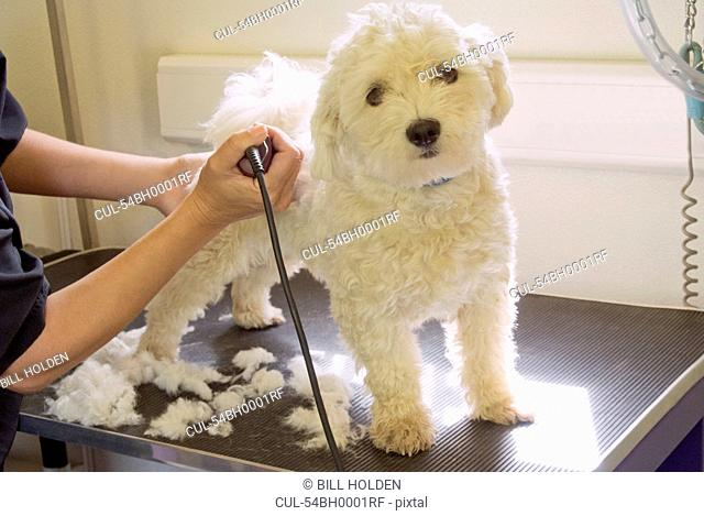 Groomer shaving terriers coat