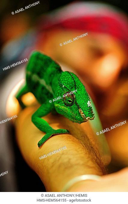Madagascar, Northwest, Nosy Komba Island, Panther chameleon Panther Chameleon - Furcifer pardalis on a tourist