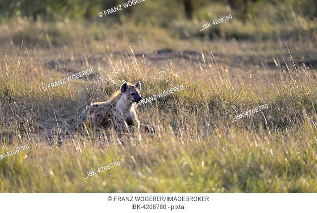 Spotted hyena, laughing hyena, (Crocuta crocuta), in the morning, lying in the grass, enjoying the warming sun, Maasai Mara National Reserve, Kenya
