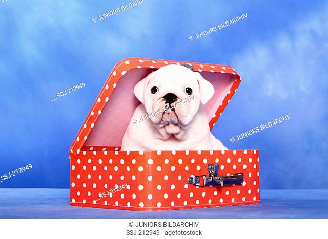 English Bulldog. Puppy (7 weeks old) sitting in a small red suitcase with white polka dots. Studio picture against a blue background. Germany