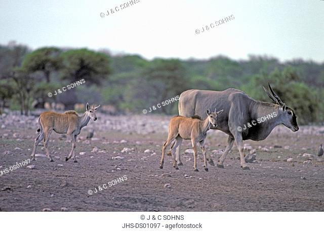 Eland, Taurotragus oryx, Samburu Game Reserve, Kenya, Africa, adult females with youngs