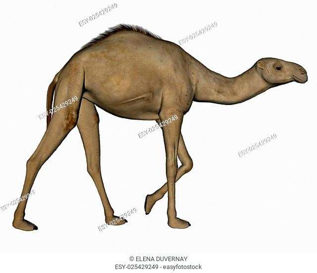 Camel walking isolated in white background - 3D render