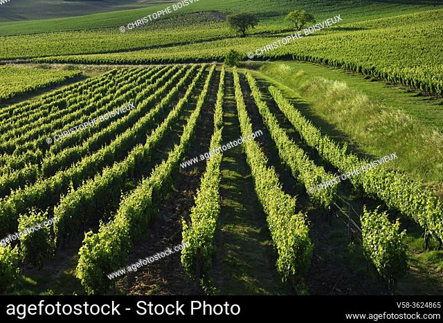 France, Tarn, Lisle sur Tarn, Gaillac vineyard, Chateau Pujol