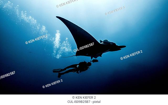 Underwater view of diver swimming with Giant Manta Ray